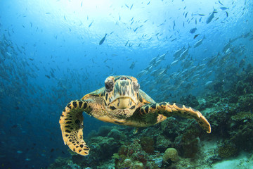 Sea Turtle on coral reef with fish school at Sipadan Island, Malaysia