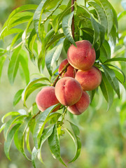 Branch with peaches