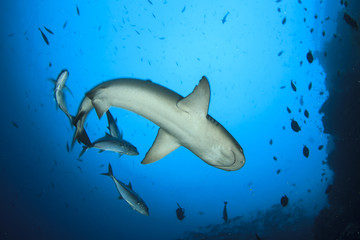 Whitetip Reef Shark and Jack fish