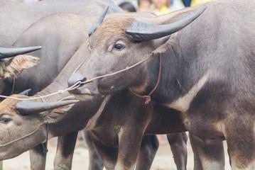 buffalo in Thailand , used as a vehicle to buffalo farm. Buffalo Killer and carnivorous.