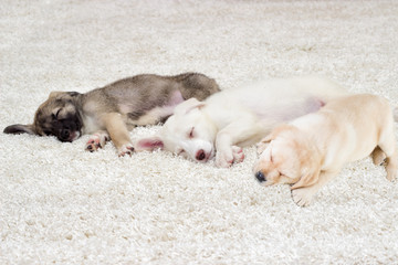 puppies sleeping on a shaggy carpet