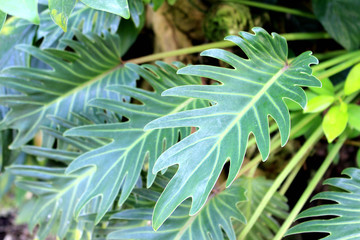Philodendron kookaburra