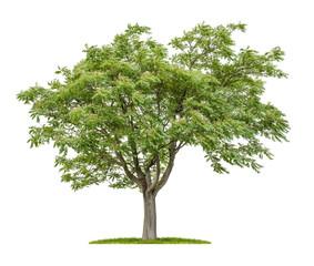 Freigestellter Götterbaum vor weißem Hintergrund