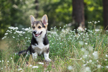 Welsh Corgi Pembroke. Dog sits on the lawn with flowers.