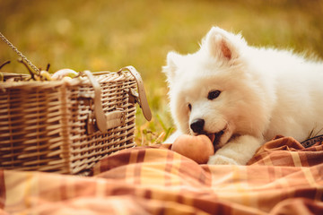 Samoyed puppy eating peach on brown plain near picnic basket