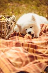 Samoyed puppy eating peach on brown plain near picnic basket