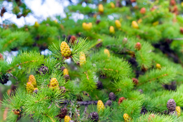 Young larch pine cone on a branch on blurry background