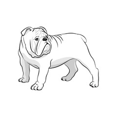English Bulldog. French Bulldog. Dog on a white background. Vector dog illustration