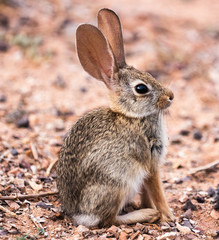 Wild baby cottontail rabbit