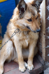 Portrait of a big dog looking to camera with happy face/Mixed breed watchdog on a chain in a dog kennel in a daylight.The dog in the village