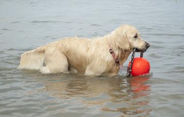 Blije gezonde blonde hond speelt in water met bal