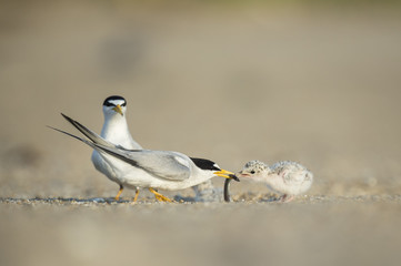 An adult Least Tern feeds its tiny chick a Sand Eel on the sandy beach on a bright sunny morning.