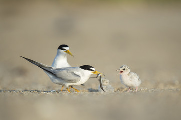 A parent Least Tern is feeding a sand eel to its young chick on a sunny morning on a sandy beach.