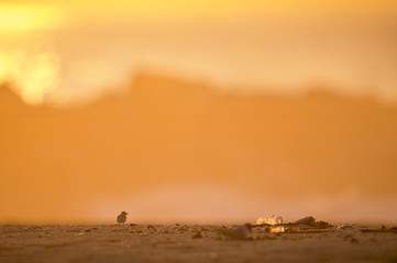This very young and very tiny Least Tern chick stands on a sandy beach as the sun rises with a large plastic bottle sitting next to it.