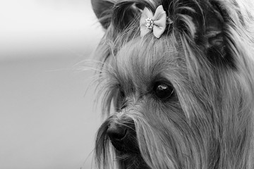 Decorative dog Yorkshire Terrier face closeup sad look