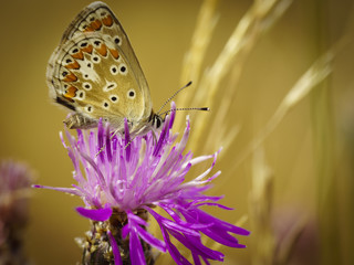 Schmetterling Bläuling 1