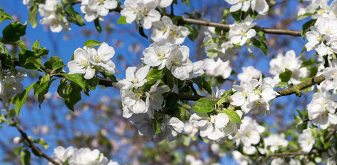 Wall Mural - weiße Blüten am Apfelbaum mit blauem Himmel Panorama