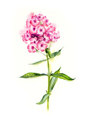 Phlox. Flower backdrop. Decoration with pink flowers. Place for your text. Watercolor hand drawn illustration