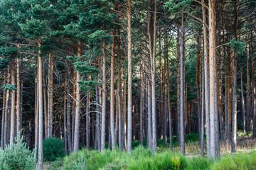 Bosque de Pino Silvestre. Pinus sylvestris. La Cabrera, León.