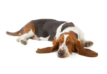 Fotobehang - Basset Hound dog sleeping