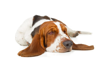 Poster - Basset Hound dog sleeping