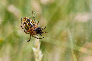 Aculepeira ceropegia. Araña de hoja de roble, Araña orbitela acuminada, alimentándose.