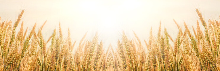 Golden wheat ears or rye close-up. The idea of a rich harvest concept. background, wheat ears under shining sunlight. Soft lighting effects. copy space. vintage effect. Element of design.