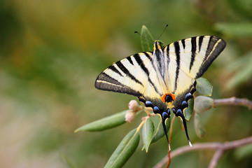 Rare beautyful Butterfly papilio machaon