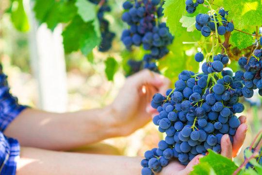 Grape harvesting in a vineyard in Kakheti region, Georgia. Woman