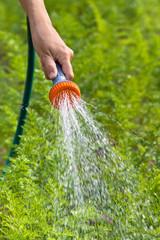 hand of gardener watering carrot