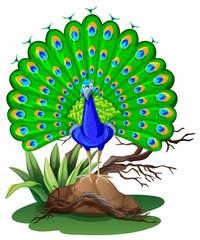 Wild peacock standing on rock