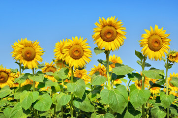 Big yellow sunflowers in the field against the blue sky. Agricultural plants closeup. Summer flowers the family Asteraceae.