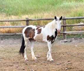 Lone Paint Horse