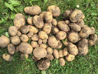 Kartoffelernte im Garten