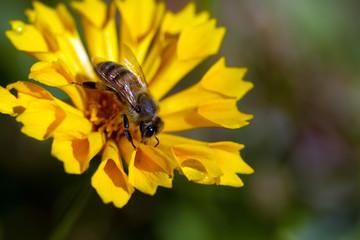 European Honeybee on yellow Coreopsis flower