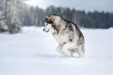Dog breed Alaskan Malamute walking in winter