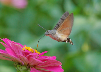 hawk moth flying above purple zinnia flower