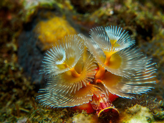 christmas tree worm under the sea