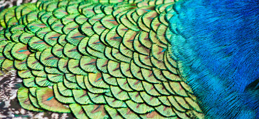 Detail of peacock feathers, fur.
