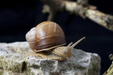 Roman snail an edible snail on a limestone