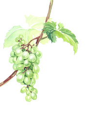 Watercolor sketch bush tomato with red and green tomatoes. Vector illustration