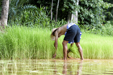 Male farmers grow rice in the rainy season. They were soaked wit