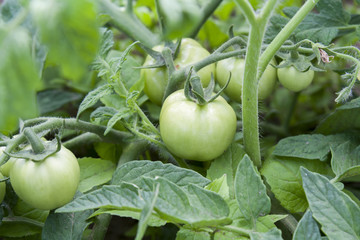 Young unripe fruit tomatoes on the bush with garden household background. Ecology concept