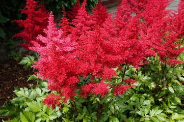 Red flower plumes of astilbe plant