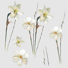 Watercolor narcissus vector flowers