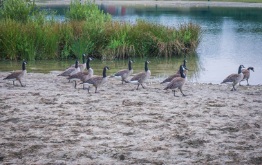 group of canadian geese walking on the shore of the lake