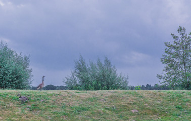 2 geese on a grass hill