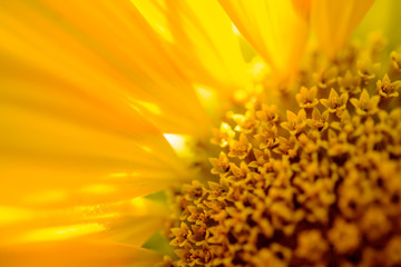 Close-up of Beautiful Bright Sunflower. Summer Flower Background.