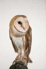 Barn owl on glove agains white screen