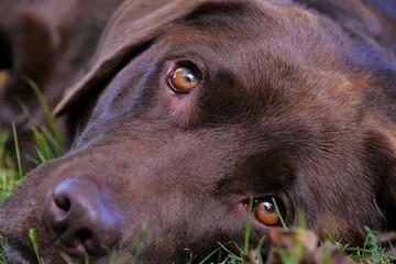 Kopf von braunem Labrador, Portrait